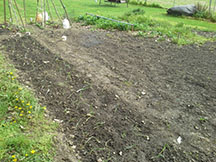 """The garden just after planting peas and lettuce in back left corner, 160 walla walla and texas sweet onions in row on left edge up to near left, first saturday in april. Strawberry patch in center back still overgrown and un-netted. Rest of area freshly scraped of weeds by a hoe and the soil loosened an broken up by hand with a garden fork. about to spread 3 bales of straw 6-8"""" deep over whole area but 1/2"""" deep in onion bed. Shallow roots and bulbs need light and water to grow"""